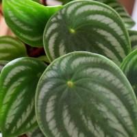 スイカペペロミアを救え!根腐れ気味の観葉植物の植え替えと回復させるコツ、の巻