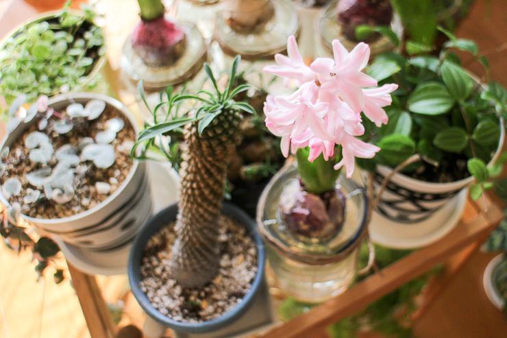 ヒヤシンス 二番花