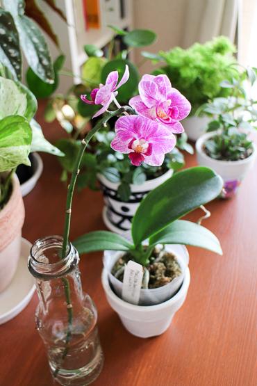 ミニ胡蝶蘭の花を飾る