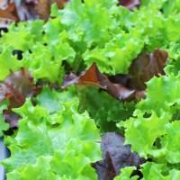 家庭菜園初心者にイチオシの簡単野菜!ガーデンレタスミックスの育て方
