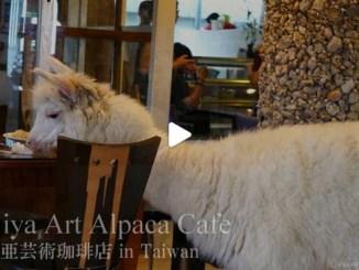 【TOP BUZZ】【絶景大陸vol.090】アルパカが店内をかけめぐる?!日本ではありえない台湾の喫茶店
