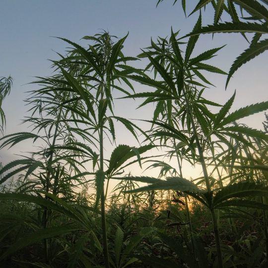 Marijuana plant growing in a field