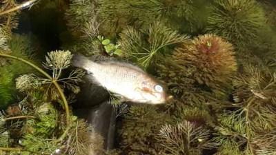 Banyak ikan mati di Rawa Klampok, Desa Senggreng, Kecamatan Sumberpucung.
