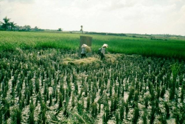 Những người nông dân gặt lúa trên đồng, Long An năm 1968. Hình ảnh do cựu binh Mỹ Laurie John Bowser thực hiện trong thời gian đóng quân ở Long An.