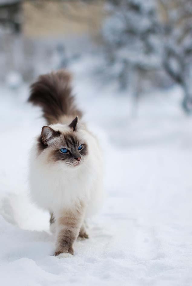 2-himalayan-cat