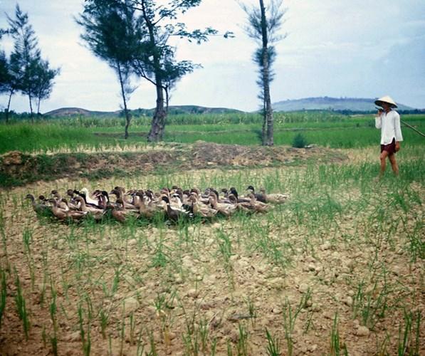 Người nông dân lùa vịt qua cánh đồng.