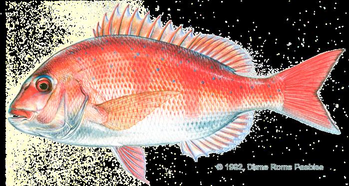 Victory Fish Madai 5
