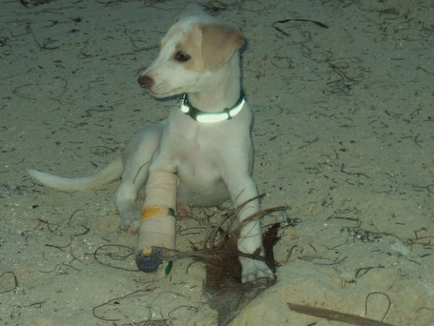 White puppy with a cast