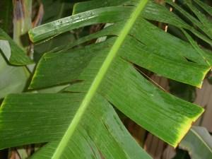 Banan Leaf