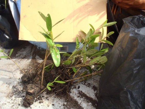 mangrove collection beize