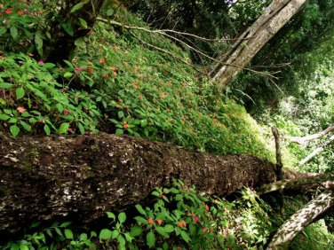 belize native trees