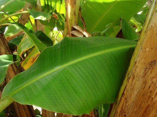 belize banana trees