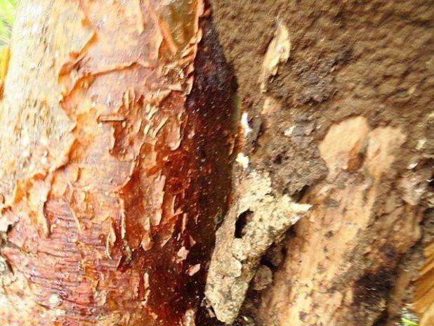 gumbo limbo tree belize
