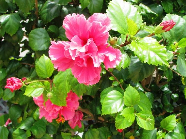 belize flower