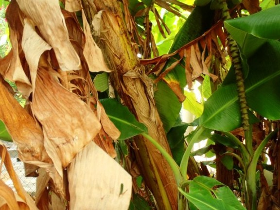 how to a grow banana tree