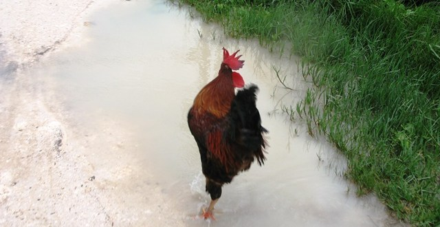 Raincoats Roosters and Chickens Everywhere