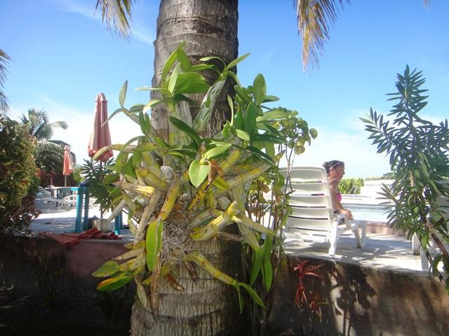 orchid belize