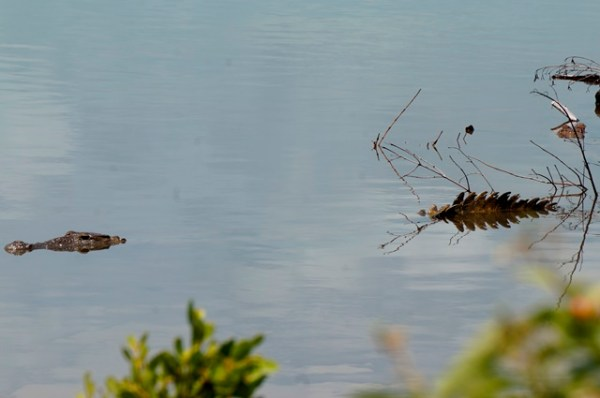crocodiles in belize