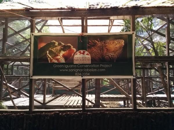 Iguana conservarion project