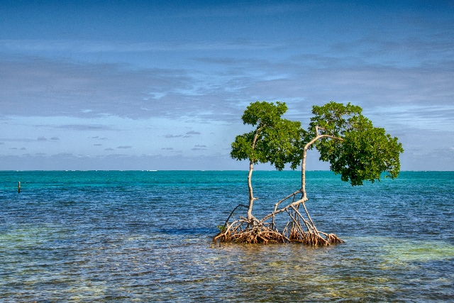 Mangrove Caye Caulker Ric Hornsby