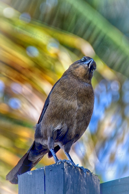 Great-tailed Grackle Placencia Belize Ric Hornsby