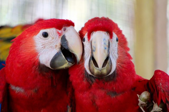 Scarlet Macaws at Chiquibul protected area