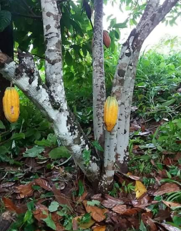 Cacao Tree Belize