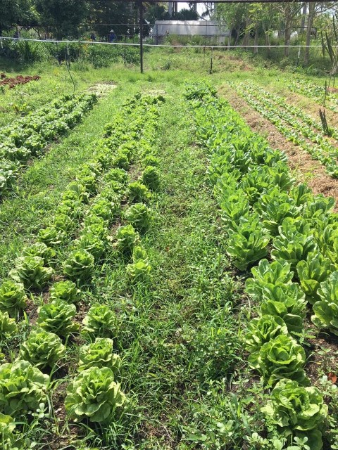 Lettuce Farming in Belize