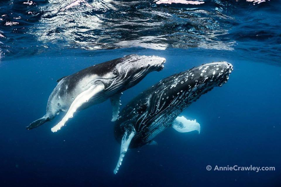 Annie humpbacks watermark