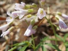 Fine-leaf Toothwort, Dentaria Multifida