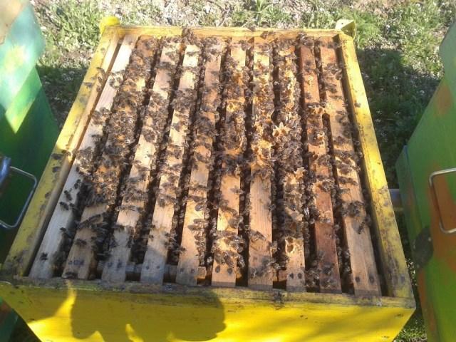 largirea cuibului la albine