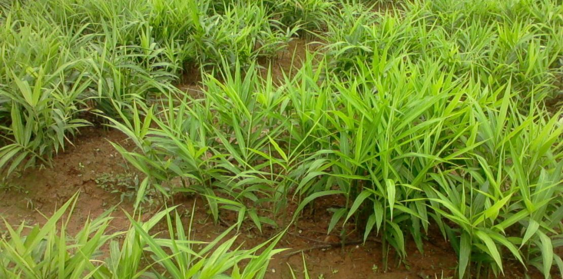 Image result for pictures of ginger farms in kaduna