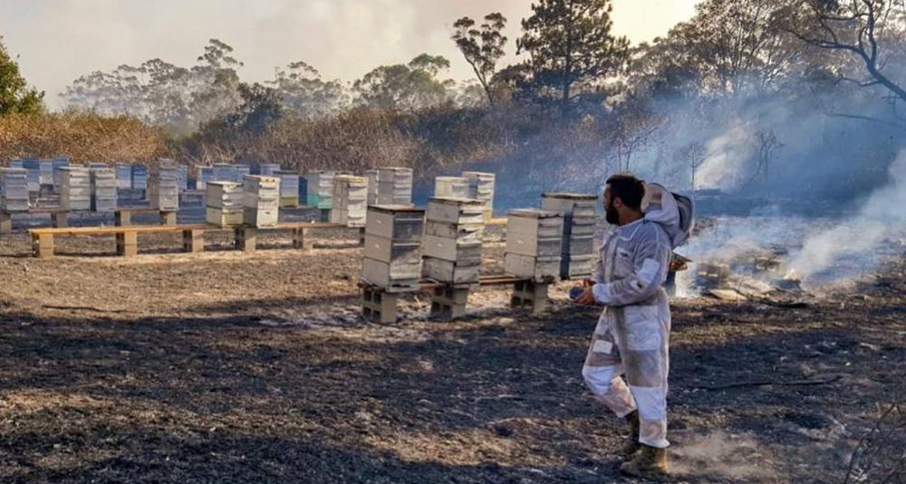 Лесные пожары в Австралии: под угрозой вымирания 2 вида пчел