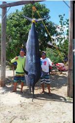 800-lbs-marlin-1