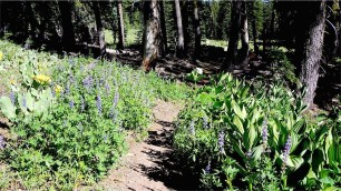 Flower lined trail: Crest Lupin and Corn Lily.