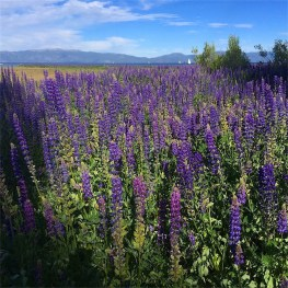 A field of Lupin where 4 feet of water should be
