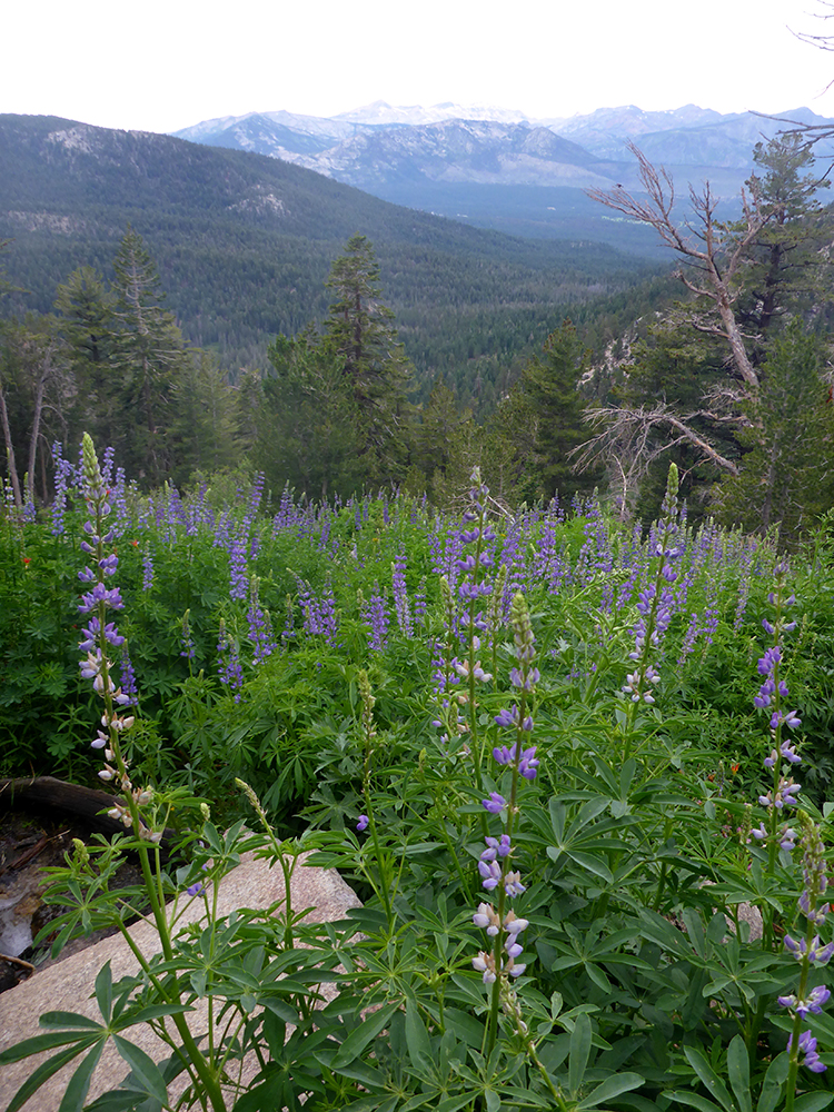 58-Lupine in Armstrong Pass