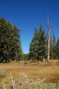 76-Meadow and Jeffrey Pine Trees
