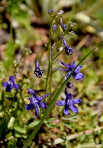 Meadow Larkspur. Photo of the Sierra Nevada wildflower taken by Jared Manninen on May 16, 2016, at Washoe Meadows State Park.