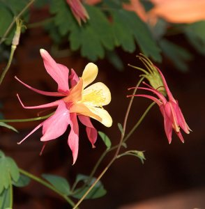 33 - Crimson Columbine in Isolation