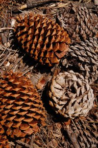 67 - Jeffrey Pine Cones Clustered on the Ground