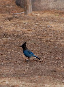 7 - Steller's Jay with a Worm in its Beak
