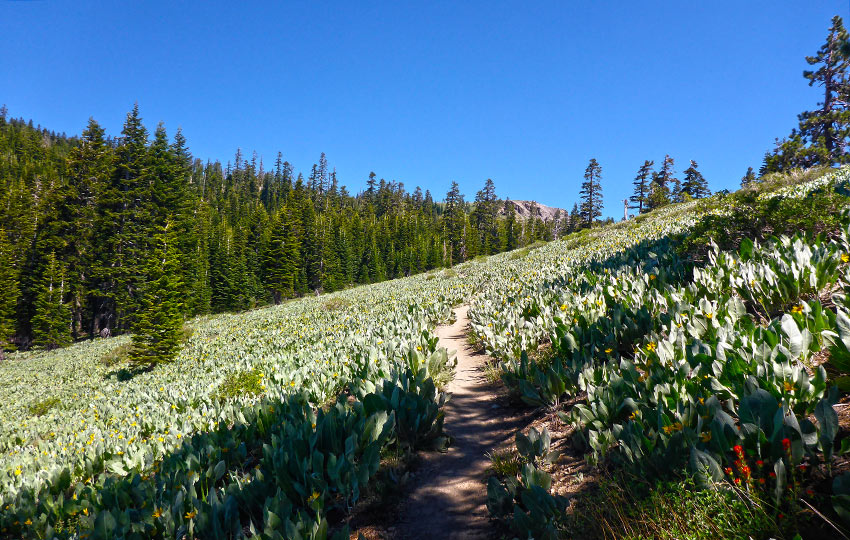 Hiking trail leading through a field of Mule's Ears