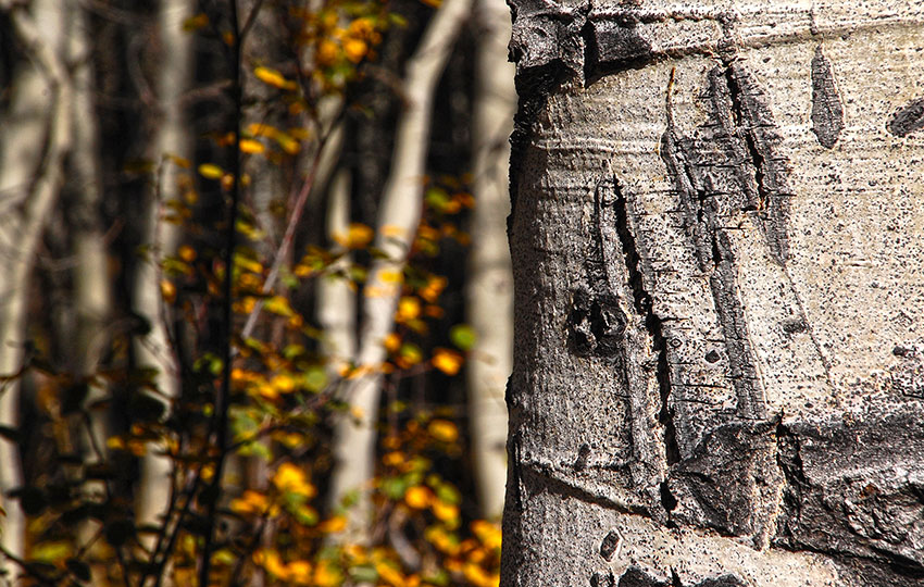 Bear claw stratch on an Aspen Tree at Cathedral Meadow