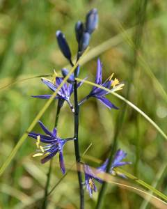 Small Camas (5/6/16) © Jared Manninen