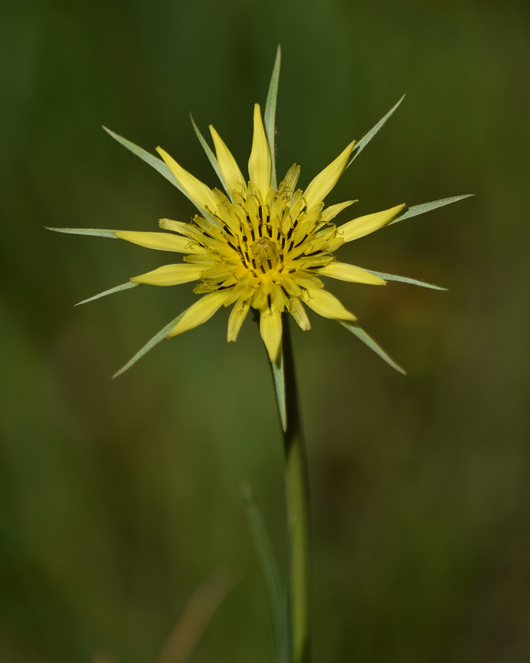 Yellow Salsify (7/17/19) © Jared Manninen