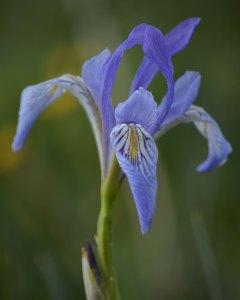 Western Blue Flag: Iris missouriensis (8/26/19) © 2019 Jared Manninen