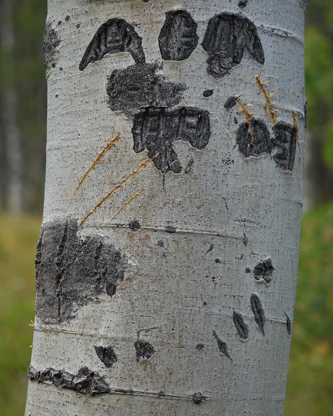 New and old bear claw scratch marks on an Aspen tree at Cathedral Meadow. © Jared Manninen