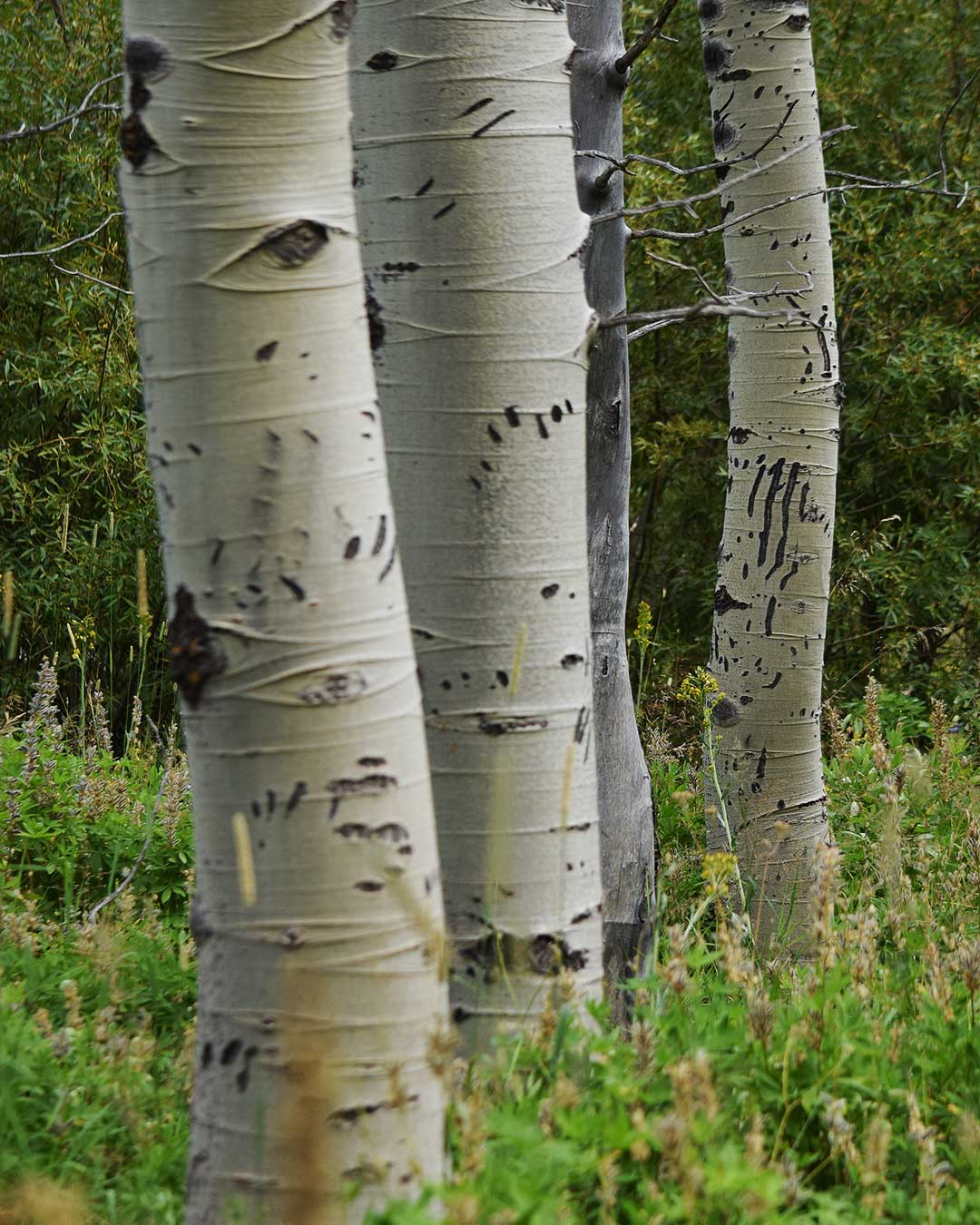 Multiple bear claw scratch marks on multiple Aspen trees at Cathedral Meadow. © Jared Manninen