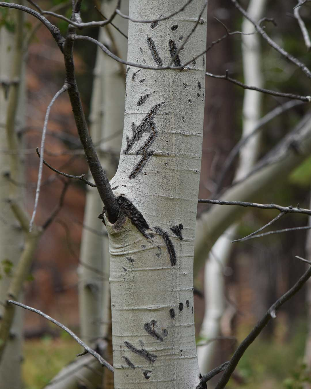 Multiple bear claw scratch marks on an Aspen tree at Cathedral Meadow. © Jared Manninen